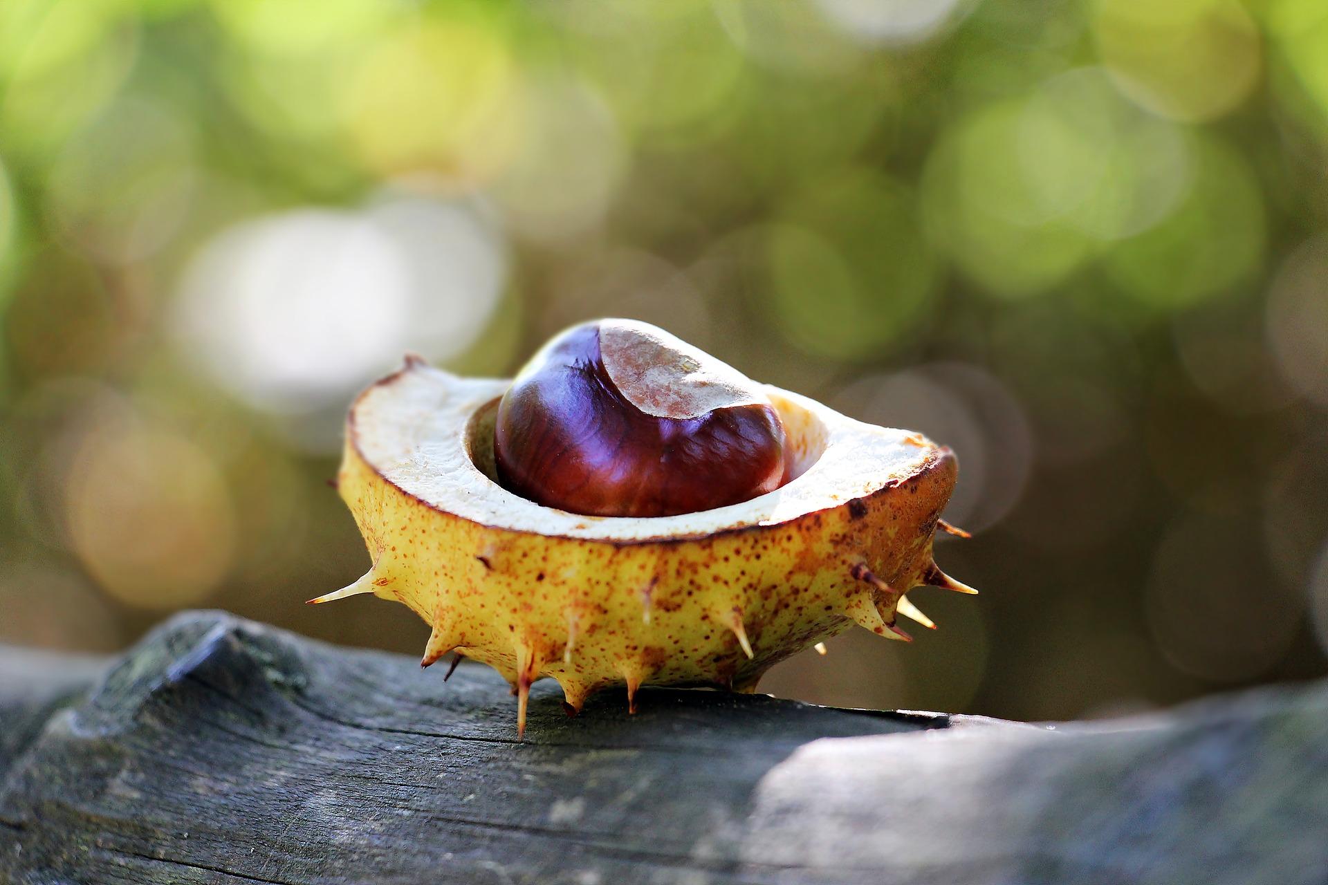 chestnut-1698692_1920
