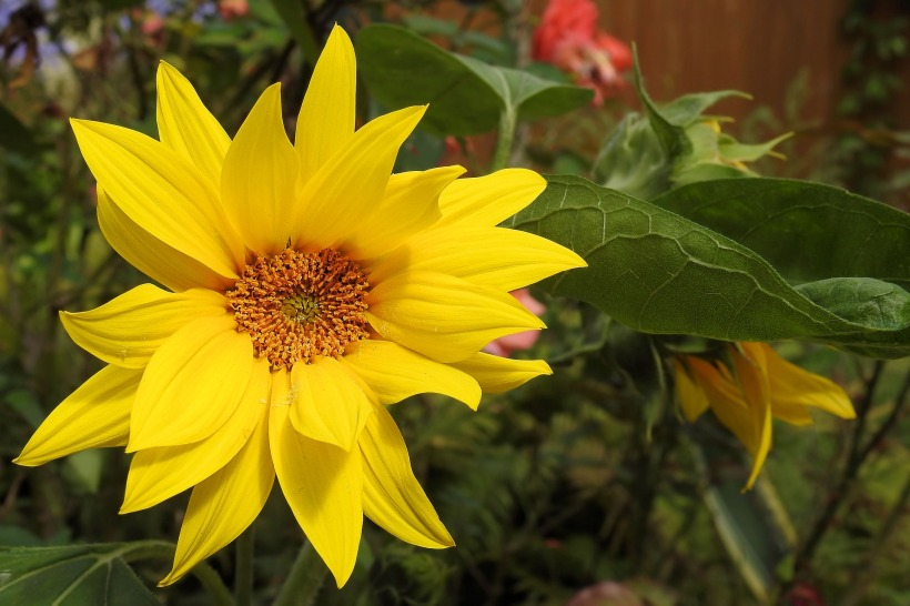 sun-flower-1586949_1920